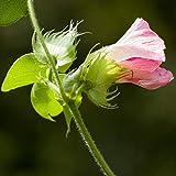 Semi di cotone levant - Gossypium herbaceum - 8 semi - 8 semi