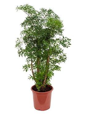 Fiederaralie, Polyscias ming, ca. 80 cm, Zimmerpflanzen-Rarität, 21 cm Topf von Redwood Service GmbH auf Du und dein Garten