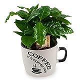 COFFEA ARABICA, PIANTA DEL CAFFE', Vaso/Tazza ¯16cm, Pianta da Interno, Pianta Vera