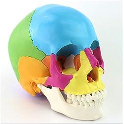 XIEJI Cráneo Humano: Modelo anatómico Educativo de 22 Piezas didáctica, Coloreado Investigacion Medica investigacion