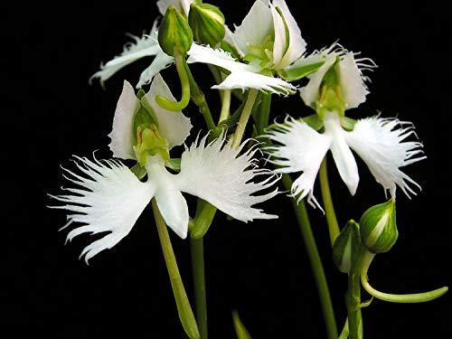 AIMADO Samen-Rarität 100 Pcs Japaniche Vogelblume-Orchidee Blumensamen weiß exotische Saatgut mehrjährig winterhart pflegeleicht Zimmerpflanze für Garten Balkon bonsai