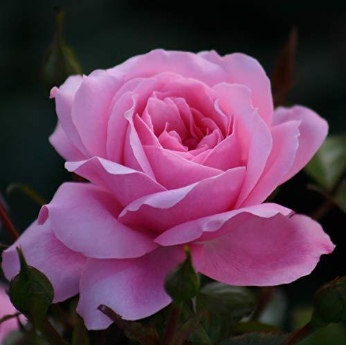 Rose The Queen Elizabeth Rose® - kräftige Pflanze im 6lt.-Container