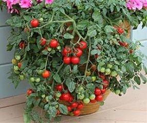 Bobby-Seeds Tomatensamen Cherrytomate Tumbling Tom Red Portion
