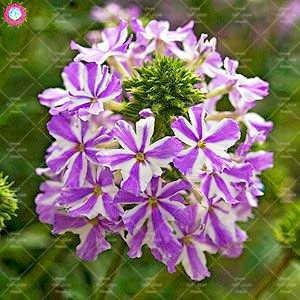 Shopmeeko 50pcs mehrjährige Pflanze Verbena Pflanze Verbena Hortensis hybrida seltene Bonsai Blumen Pflanze Indoor Balkon Topfblume für Garten: 7