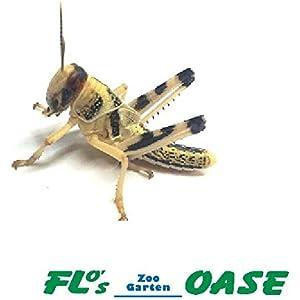 Heuschrecken Wüstenheuschrecken subadult 10 Stück Dose Futterinsekten Reptilienfutter Futtertiere