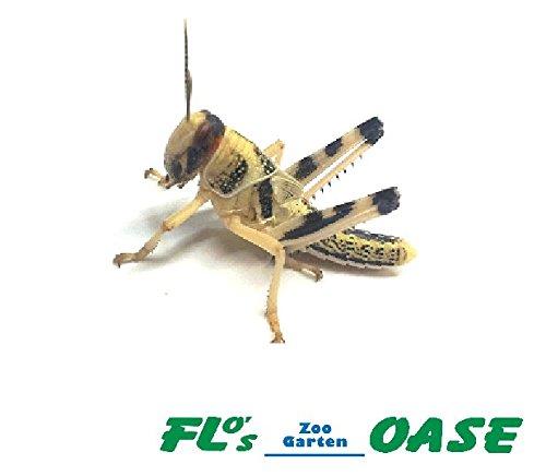 Heuschrecken Wüstenheuschrecken subadult 100 Stück Futterinsekten Reptilienfutter Futtertiere