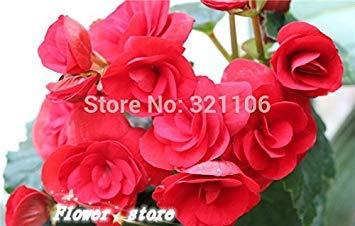 12 graines, Rose Rieger Begonia fleur, graines de fleurs de plantes en pot Idéal, Livraison gratuite
