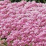 SANHOC Semi Pacchetto: 60+ Rosa Dolce FragrantFlower Seed/Copertura del Suolo