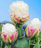 AIMADO sementi giardino - Raro Tulipani doppi tardivi mix Symphonie Semi sementi fiori giardino resistenza al freddo Pianta perenne, ideale per Cespuglio/Balconi e terrazze/Bordure/viali