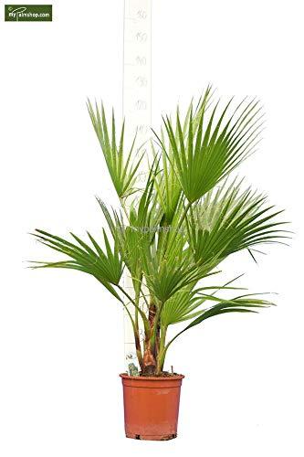 Washingtonia robusta MULTISTAMM - Mexikanische Washingtoniapalme - verschiedene Größen (110-130cm - Topf Ø 22cm)