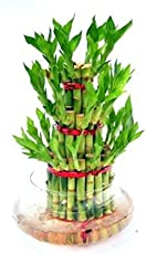 AGAMI GREEN 3 Layer Lucky Bamboo Indoor Green Plant For Feng Shui