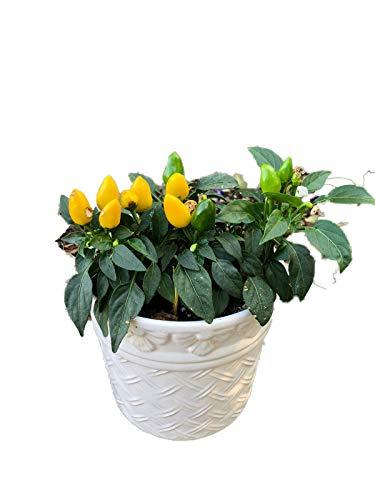 Gelber -Bonsai Chili- 5 Samen