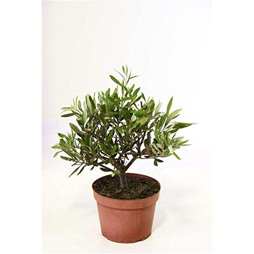 Olivenbaum 15-180 cm - Olea europaea essbare Oliven (30 cm)