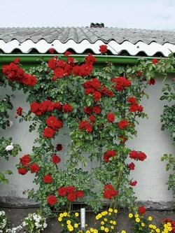 Kletterrose 'Amadeus' -R- im 4 L Container von Rosen-Union eG. auf Du und dein Garten