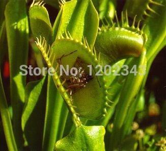 100% 50pcs Véritable clip Dionaea Muscipula géant Venus Flytrap Graines Plantes Bonsai Graines de fleurs