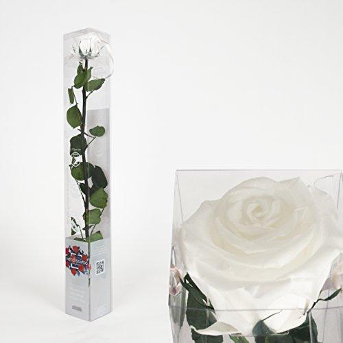 Inter Flowers - 1x Rose - 50cm - WEISS - preserved, konserviert - gefriergetrocknete Blumen, ewig...