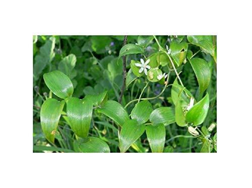 10x Asparagus asparagoides Smilax Samen Blüten weiß Beeren B1915