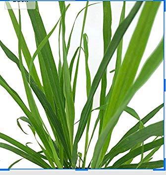 Shop Meeko 100 graines -Cymbopogon citratus- Citronnelle par Samenchilishop