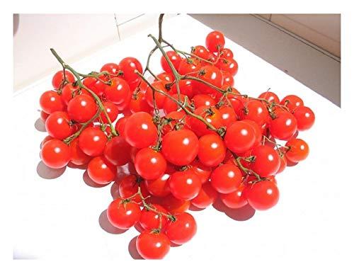 Premier Seeds Direct Riesentraube Tomate enthaelt 100 Samen