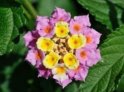 25 Samen Wandelröschen (Lantana camara) von Samenchilishop auf Du und dein Garten