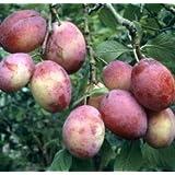 Árbol frutal enano para patio - Ciruela - Variedad Victoria - Aprox. 75 cm de alto -