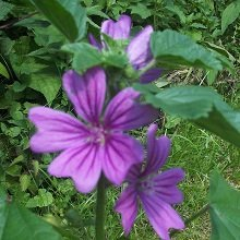 JustSeed - Flower - Malva sylvestris - Common Mallow - 200 Seeds