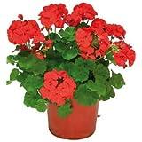 Geranio Rojo, Rosa, Blanco, Naranja, Morado Planta Natural en Maceta Colores Surtidos