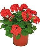 Geranio Rojo Planta Natural Pequeña En Maceta - Planta Decorativa y Ornamental