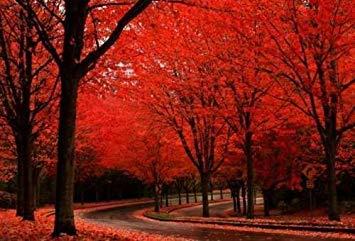 PlenTree 25 Acer Rubrum Seeds - Red Maple - Bonsai oppure Orizzontale - freschi e vitale