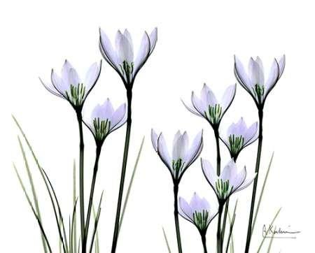 white-rain-lily-in-bloom-von-koetsier-albert-kunstdruck-auf-papier-klein-25-x-20-cms-
