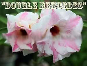 """20 fresh samen Wüstenrose samen adenium obesum samen """"no87-DOUBLE-MERCEDES"""""""