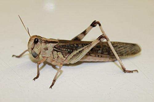 Heuschrecken Wanderheuschrecken adult groß 10 Stück Dose Futterinsekten Reptilienfutter Futtertiere