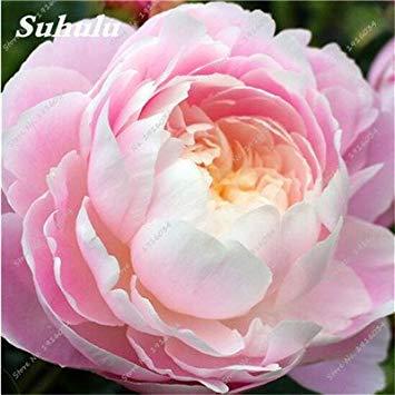 10 Pcs Pivoine graines, semences Potted extérieur, Bonsai Flower Seed, Variété complète, facile à cultiver, d'ornement-plantes pour jardin 12