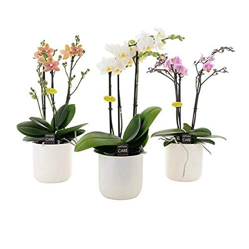 FloraStore - Phalaenopsis 4 branches en céramique blanche (Rose) (1x), Hauteur45 CM, Pot Ø 12 CM, Plante d'Intérieur
