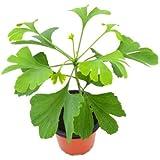 Ginkgo Biloba 10cm Árbol de la Longevidad Planta Natural Árbol Caducifolio