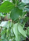 Dioscorea filiformis - Caudexpflanze - 3 Samen
