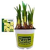 Narzisse Osterglocke 'Avalon' gelb-weiß, vorgetrieben im 10 cm Topf - Zwiebelpflanze aus eigener Gärtnerei von Pflanzen-Kölle - Narcissus 'Avalon' - schöne Osterdeko im Frühling