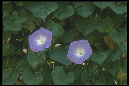 132039 Morning Glory (Ipomoea Purpurea) A4 Photo Poster Print 10x8 - Morning Glory Ipomoea Purpurea