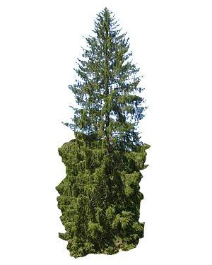 1 Kg Saatgut -Gemeine Fichte- (Picea abies)