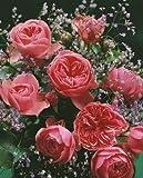 rosenstrauch rosensorten rosen pflege und rosen schneiden bei. Black Bedroom Furniture Sets. Home Design Ideas
