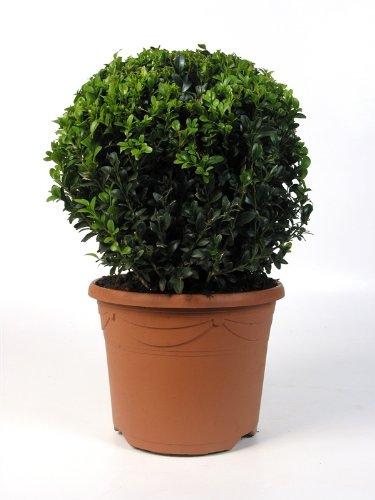 Buxus Kugel 30/35cm Ø Buchsbaumkugel