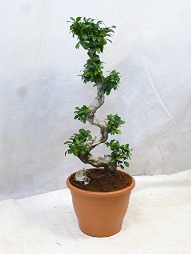 Ficus Ginseng, Ginseng