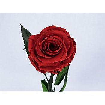 Konservierte rose Farbe lila 25 cm