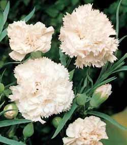 premier-seeds-direct-car05f-carnation-finest-seeds-white-pack-of-350