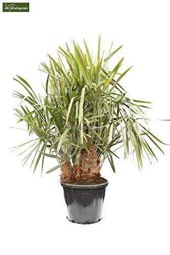 Palme, Trithrinax acanthocoma - Brasilianische Nadelpalme Gesamthöhe: 160-180cm, Stamm: 50-60cm, Topf: Ø 50cm