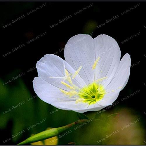 Bloom Green Co. Oenothera biennis Bonsai, 100Pcs enotera Can Estrazione di Olio Essenziale aromatico della pianta dei Bonsai Facile Crescere Bonsai: 2