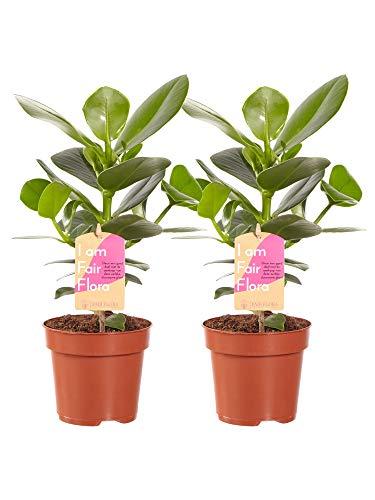 BOTANICLY | 2 × Zimmerpflanze - Balsamapfel Princess | Höhe: 35 cm | Clusia Princess