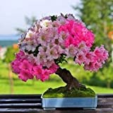 #5: Bonsai Seeds Pride Of India Imported Bonsai Seeds By Creative Farmer