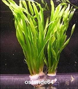 2 Bunde Große Wasserschraube / Vallisneria americana - asiatica, barschfest