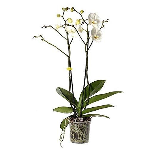 FloraStore - Phalaenopsis Géant blanc à 2 branches - 70 cm de qualité supérieure! (1x), Pot Ø 15 CM, Plante d'Intérieur